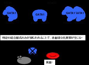 ID15800_GATA