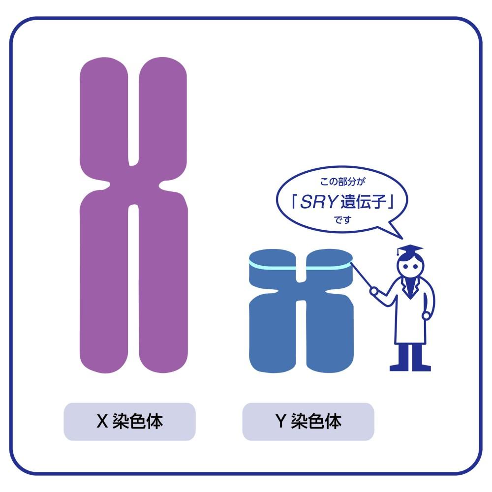 SRY | ようこそゲノムの世界へ